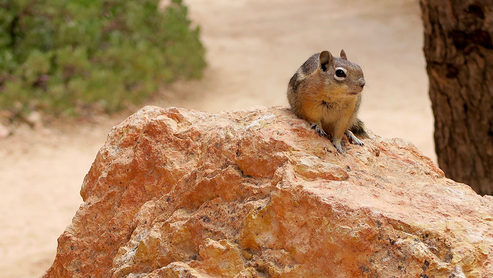 Chipmunk Bryce Canyon National Park
