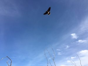 A raptor, wings open, soars against a blue sky