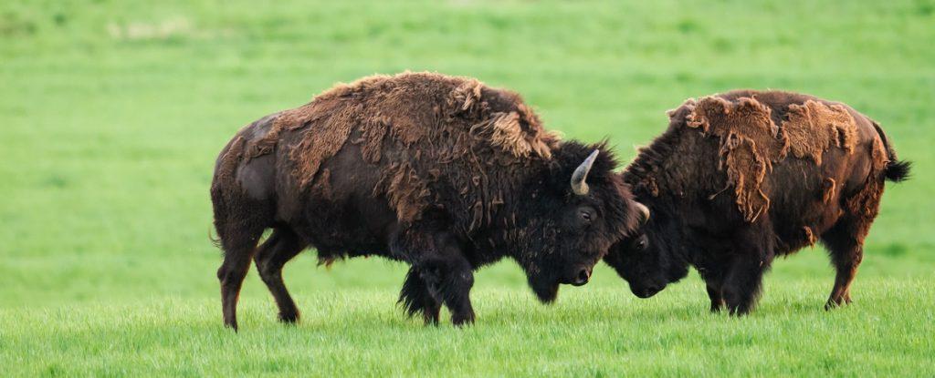 Plains Bison in Grasslands National Park, Saskatchewan, Canada